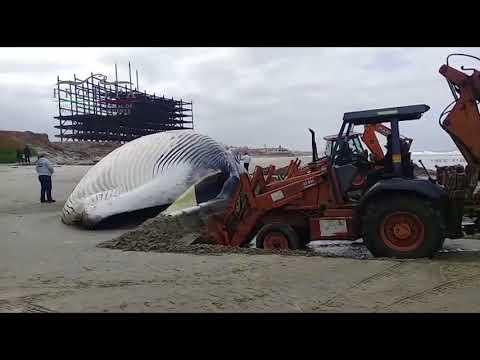 Atiende PROFEPA  varamiento de Ballena de Aleta en playas de Rosarito, Baja California