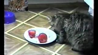 Кошка жрет помидоры