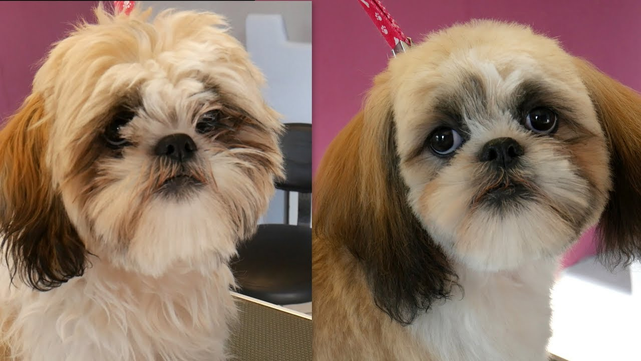 Grooming Guide Shih Tzu Puppy Head Grooming 24 Youtube