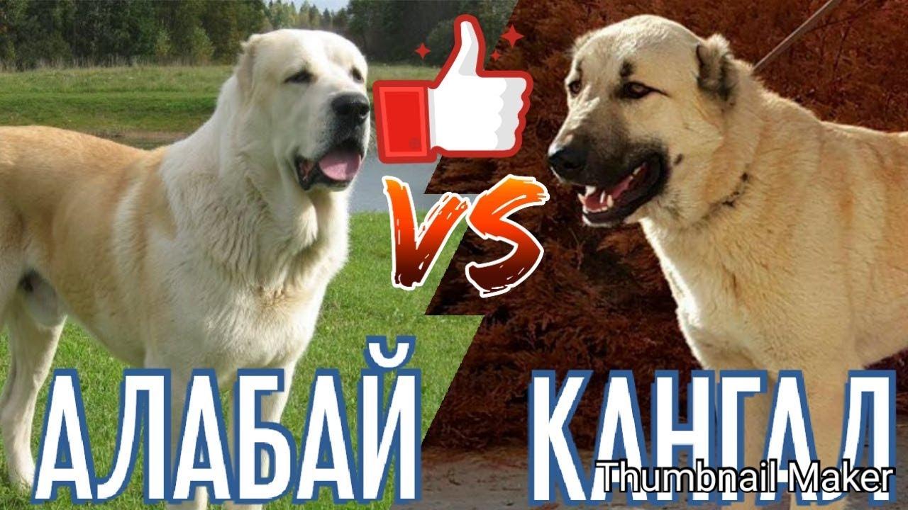 Алабай против Кангала. Alabai against Kangal. Собаки. Батл собак.