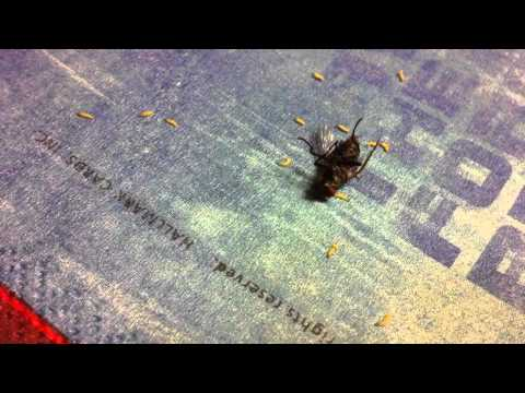 squished-flesh-fly-discharges-live-maggots