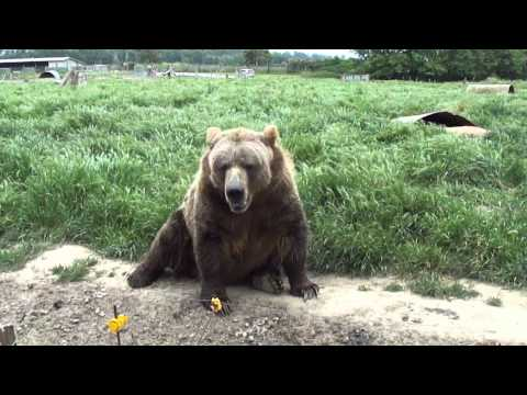 grizzly bear waves and stands on back two legs SUPER big.