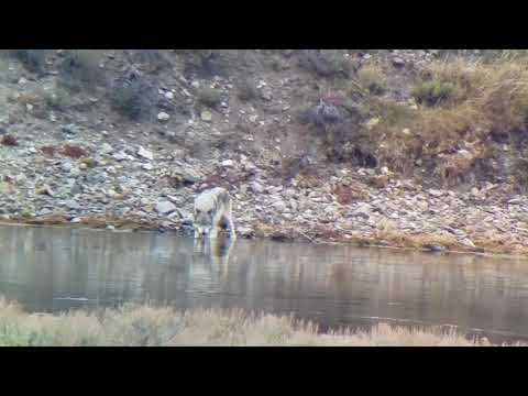 A Yellowstone Mollie Pack Gray Wolf