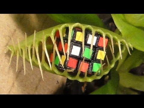 Enormous Venus Fly Trap eats 3 Rubik's Cubes !!!!