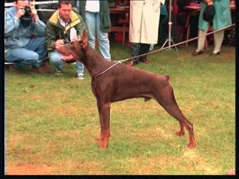 The Doberman - Pet Dog Documentary