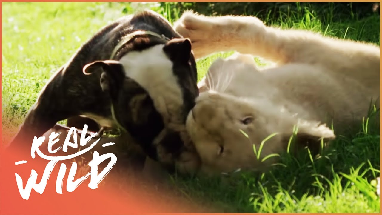 Lion Cub Is Best Friends With Bulldog Puppy [Animal Friendship Documentary] | Wild Things Shorts