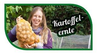 Kartoffeln pflanzen und ernten 🥔 die beste Sorte für die Tonne, Sack oder Kübel?!
