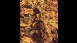 Pure Essentials Black Label Bud/Flowering Time Lapse grow