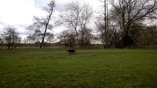 12 Month Old Gun Dog Training