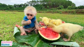 BiBi Monkey Plays Friendly With Poodle And Ducks
