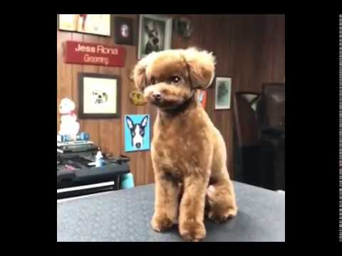 Katy Perrys Cute Puppy Nugget Getting A Hair Cut Youtube