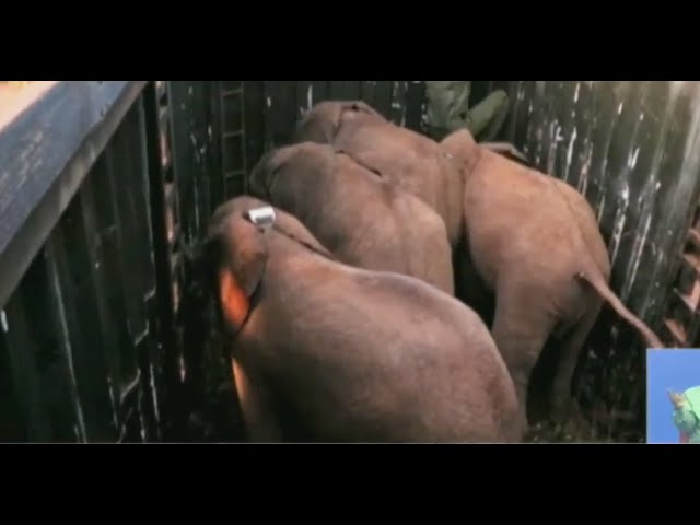 4 elephant calves released after 3 years at a conservancy in Samburu