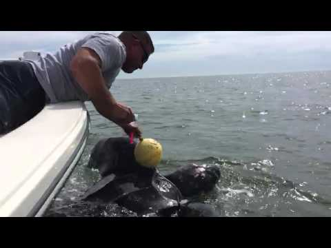 LEATHERBACK TURTLE RESCUED BY OFF DUTY JACKSONVILLE POLICE OFFICERS