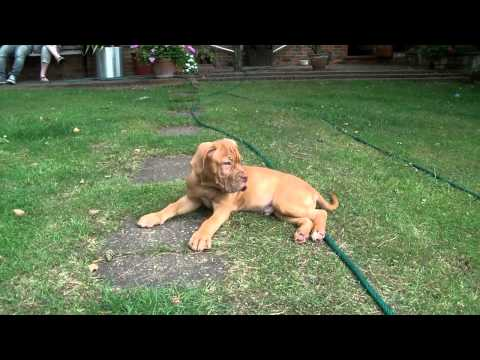 Dogue de Bordeaux Puppy - George at 12 weeks - First Time outside