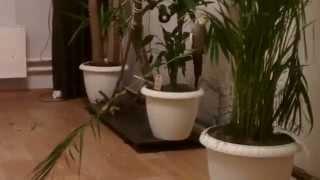 пернатые вредители. Кореллы и домашние растения несовместимы... увы и ах!