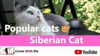 SIBERIAN CAT  Characteristics, Care and Health Popular Cats