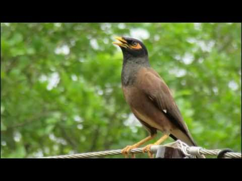 Common myna - bird sound : Vidbb.com - music search engine - photo#44