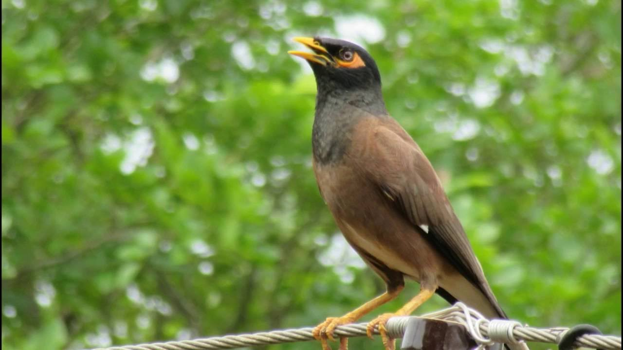 how to make a myna bird trap