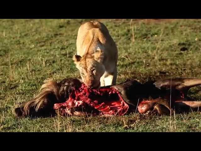 Lioness at kill