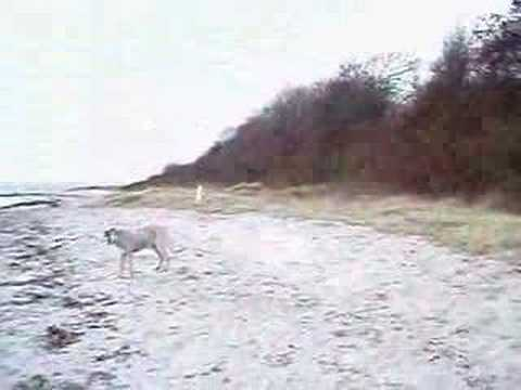 Borzoi - run - YouTube