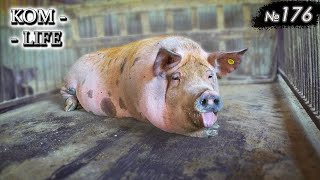 В гостях у друга свиновода
