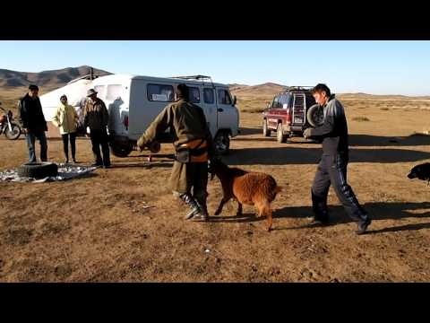 Goat slaughter in Mongolia
