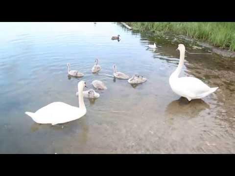 Лебеди и их детёныши