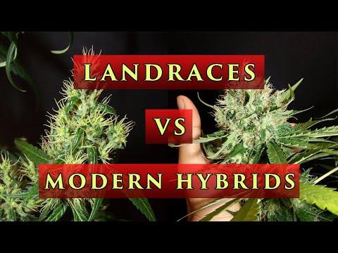 Landraces VS Modern Strains : Old School VS New School Cannabis