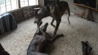 Bentley Plays With A Visiting Pup Who Is Much Bigger Than He Is.