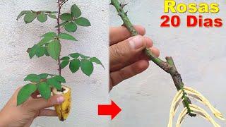 Como Enraizar Estacas de Rosas Usando Banana