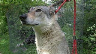 Утвержден список опасных пород собак, которых нельзя выгуливать без поводка и намордника.