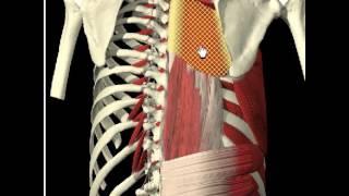 03. Большая и малая ромбовиные мышцы. Средний слой мышц спины.(Не упомянул в видео. Находится под ровно под трапециевидной мышцей., 2017-02-05T09:51:46.000Z)