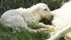 Naissance d'agneau en direct / mise bas brebis - ZAPPING SAUVAGE
