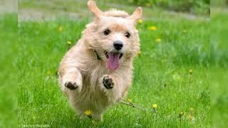Terrier de Norwich. Pros y contras, precio, Cómo elegir, hechos, cuidado, historia
