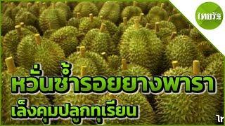 เล็งคุมปลูกทุเรียนหวั่นซ้ำรอยยาง-20-04-62-ข่าวเช้าไทยรัฐ-เสาร์-อาทิตย์