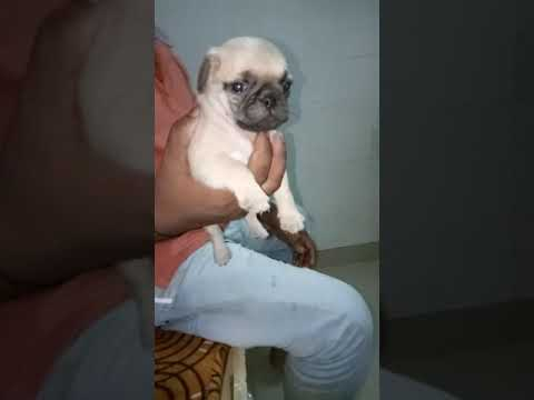 Pug pups undernose show quality breed for sale 9671116765 at chandigarh punjab jaipur agra patna goa