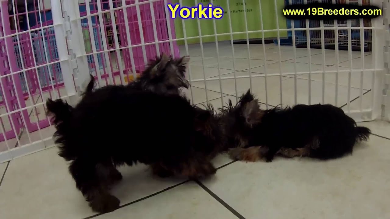 craigslist yorkie puppies for sale yorkshire terrier yorkie puppies dogs for sale in 6452