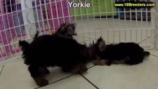 Yorkshire Terrier, Puppies, For, Sale, In, Clifton, New Jersey, Nj, Morris, Passaic, Camden, Union,