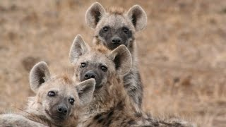 How does a laughing hyena sound?