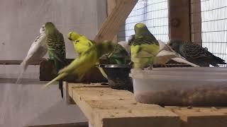 Эта запись даст желание размножатся Вашим попугаям волнистым.