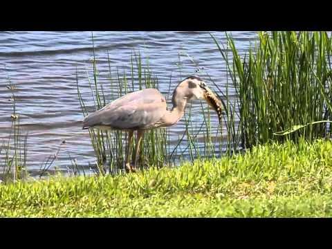 Alligator Eaten by Great Blue Heron
