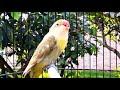 Panggilan Lovebird Bikin Lovebird Lain Emosi Lanjut Ngekek  Mp3 - Mp4 Download