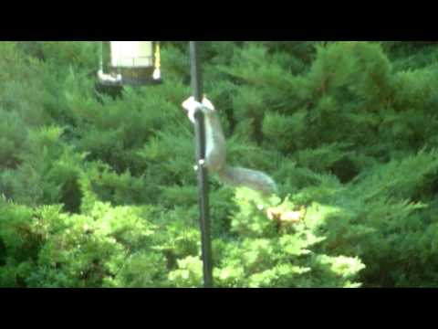Sleeping Squirrel Slding Down Bird Feeder Pole