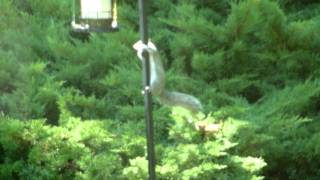 Sleeping Squirrel Slding Down Bird Feeder Pole
