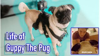 Guppy's First Vlog!! (Through a Pug's Eyes!)