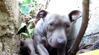 scared stray pit bull living in a ditch rescued please share on facebook twitter
