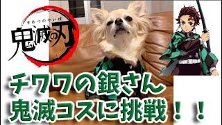 【コラボ】チワワの銀さん 鬼滅の刃コス! おしゃべりペット