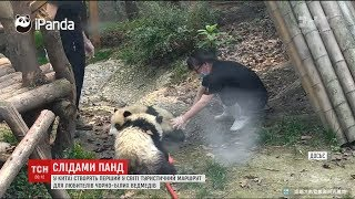 У Китаї створять перший у світі туристичний маршрут для любителів панд