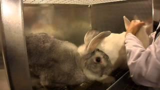сбор спермы кроликов