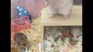 赤ちゃんハムスター成長日記 Hamster baby thumbnail